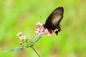 butterfliesoflalbagh15